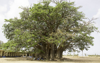 Le baobab sacré